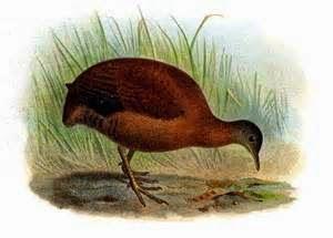 aves de Misiones Crypturellus obsoletus