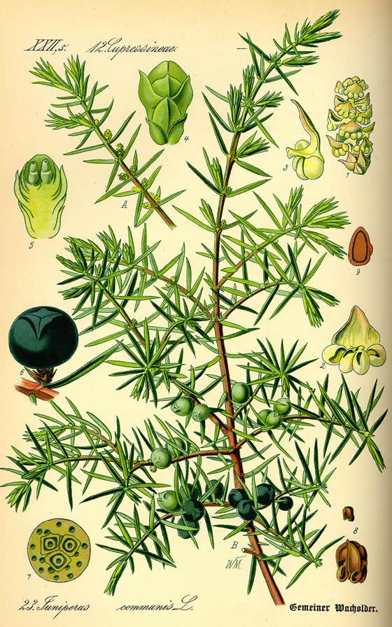 Juniper illustration