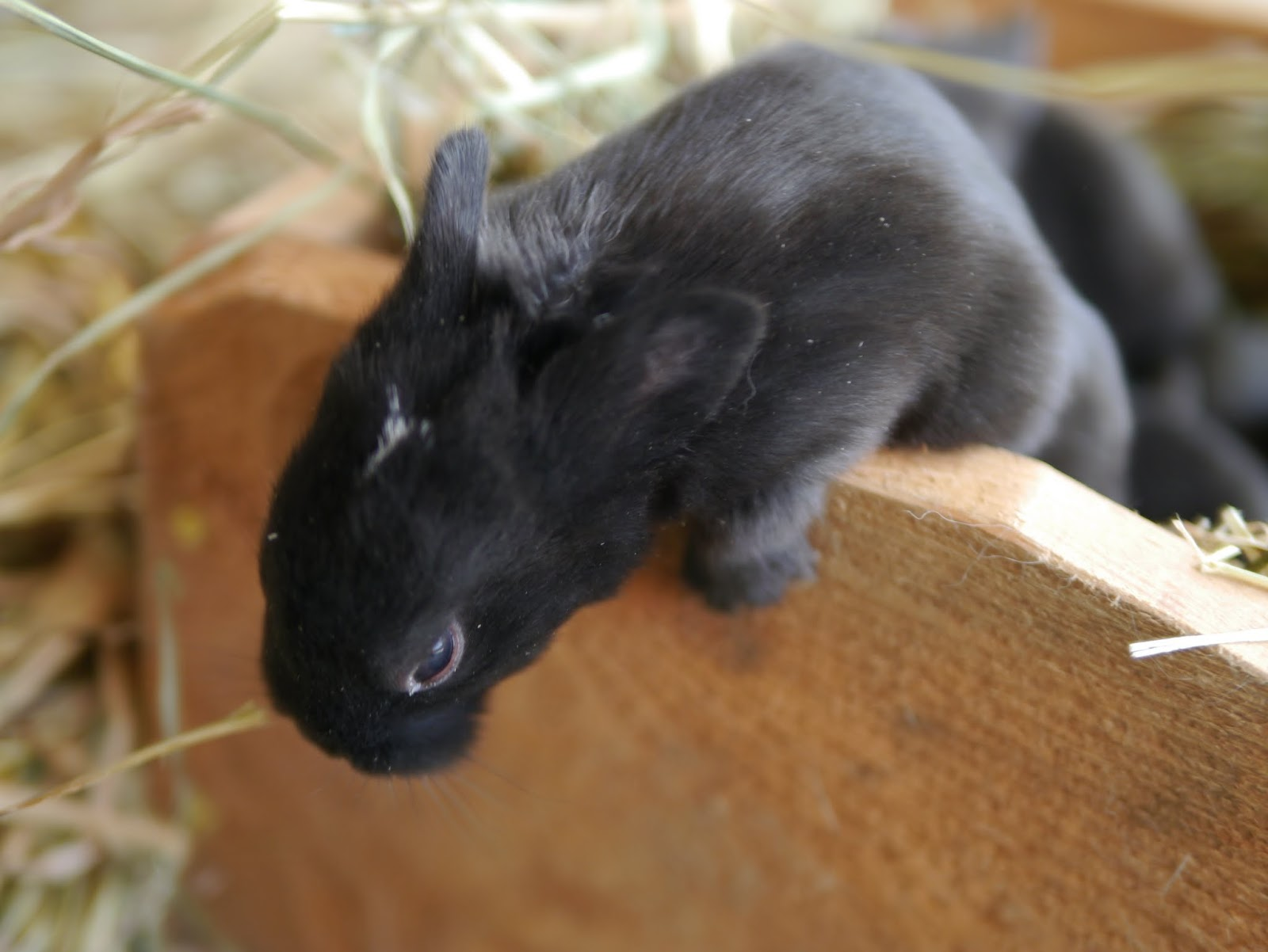 Preventing Nest Box Eye Infections in Baby Rabbits