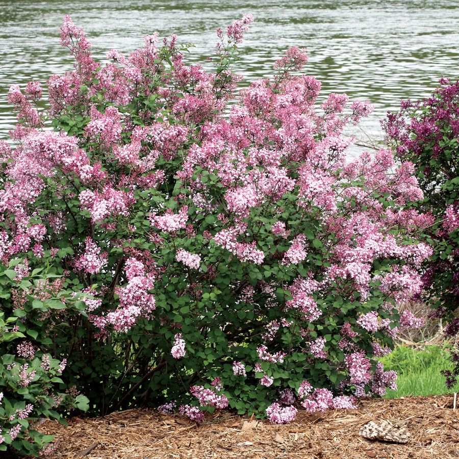 Pink Perfume Bloomerang Syringa The Next Big Thing In Lilacs