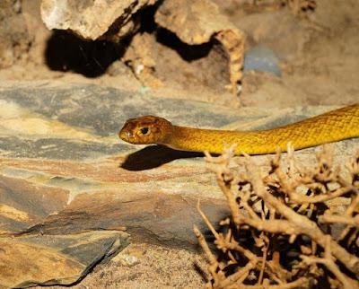 Inland Taipan poisonus snakes