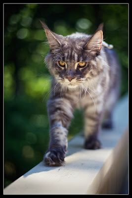 Shiva, the maine coon