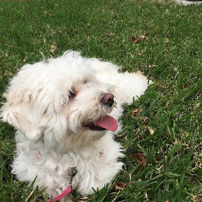 perro maltes y la agresividad