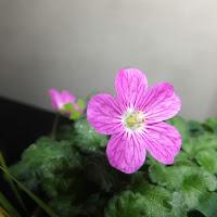 室内で開花した姫フウロ草