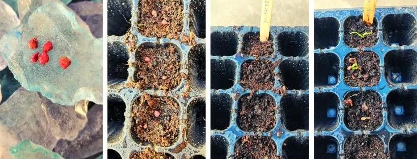 Como germinar semillas de ESPINACA en casa para tu HUERTO URBANO