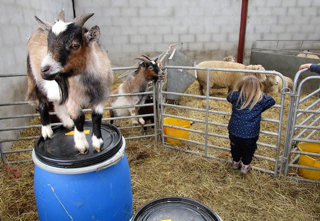 kilipukki, lammas, sandy feet farm, pet farm