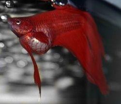 Penyakit Ikan Cupang – Busung
