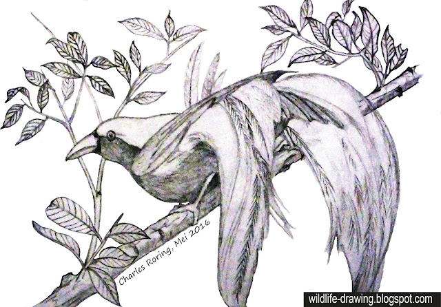 Sketch of a male Lesser Birds of Paradise