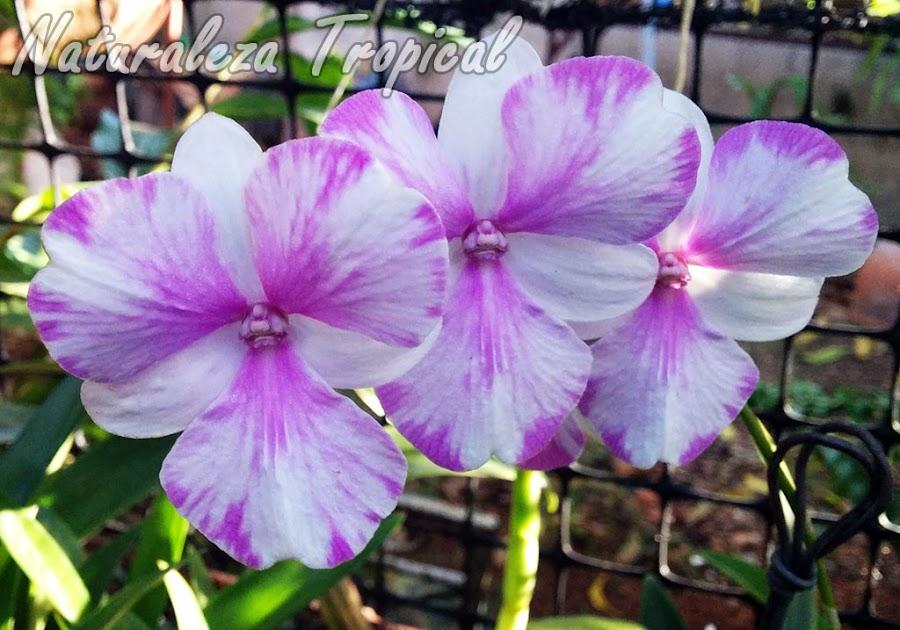 Orquídea del género Dendrobium (híbrido)