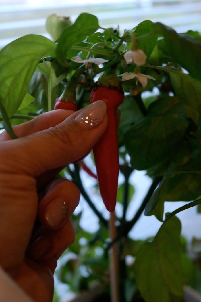 kotona kasvatettu chili
