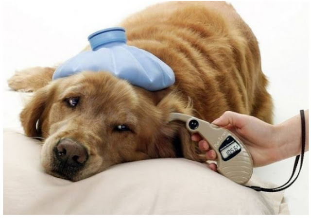 Dog Ear Infection Medicine, Symptoms, Diagnosis, Treatment and Prevention
