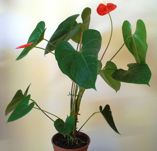 les plantes de peg anthurium andreanum langue de feu. Black Bedroom Furniture Sets. Home Design Ideas