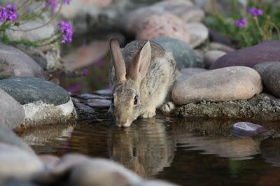 apakah kelinci perlu diberikan air minum