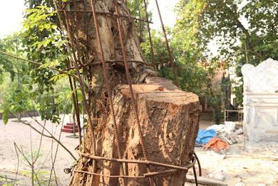 Đại gia và gỗ sưa, Gỗ sưa việt nam