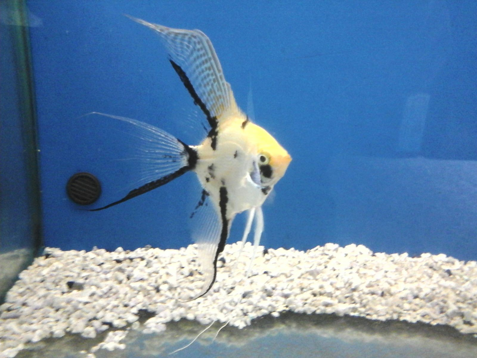 Pirana aquarium pesci tropicali d 39 acqua dolce i ciclidi for Pesci acquario