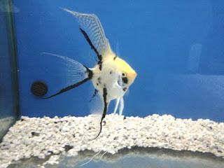 Pirana aquarium pesci tropicali d 39 acqua dolce i ciclidi for Pesci acqua dolce vendita