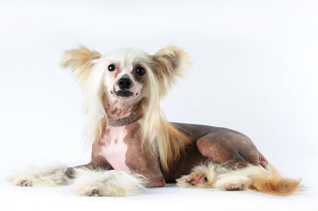Psy rasy Grzywacz chiński