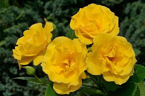 Stuttgardia сорт розы Кордес фото Минск купить саженцы