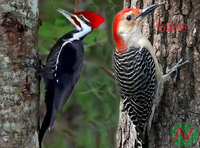 woodpecker bird, কাঠঠোকরা