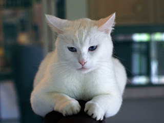 A close-up of a white cat laying down.