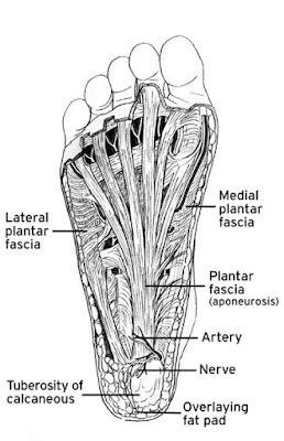 Plantar Fascia Anatomy Diagram - El Paso Chiropractor