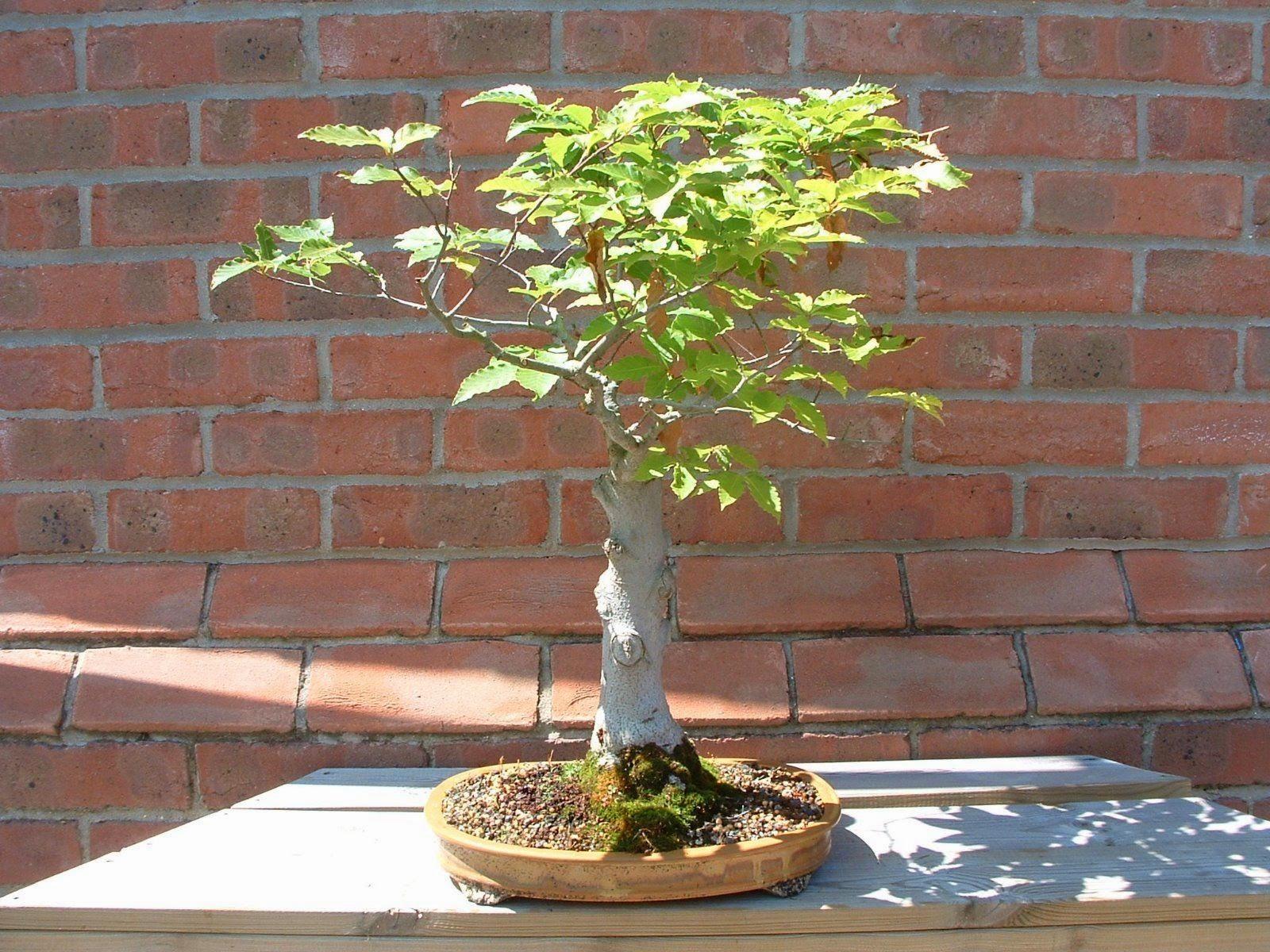 Bonsai Tree 20 Beautiful Japanese Beech Bonsai Inspirations