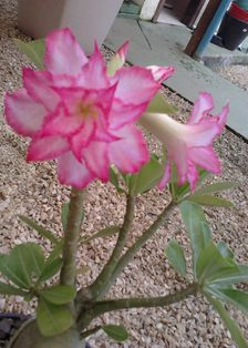 Gambar Bunga Adenium yang Unik dan Cantik 12