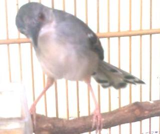 Burung Ciblek Kristal atau CIblek Putih atau CIblek Alas