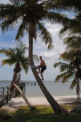 palmboom klimmen