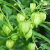 Khasiat Buah Ciplukan Untuk Obat Tradisional Herbal Mujarab