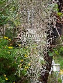 Tillandsia usneoides  Barba del monte