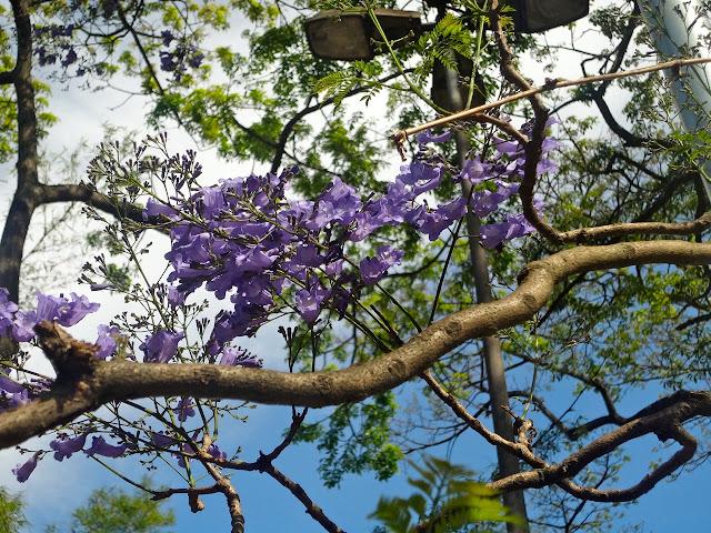 Parque Piqueri - flores jacarandá mimoso