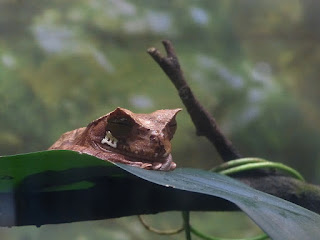 Grenouille marsupiale cornue - Gastrotheca cornuta