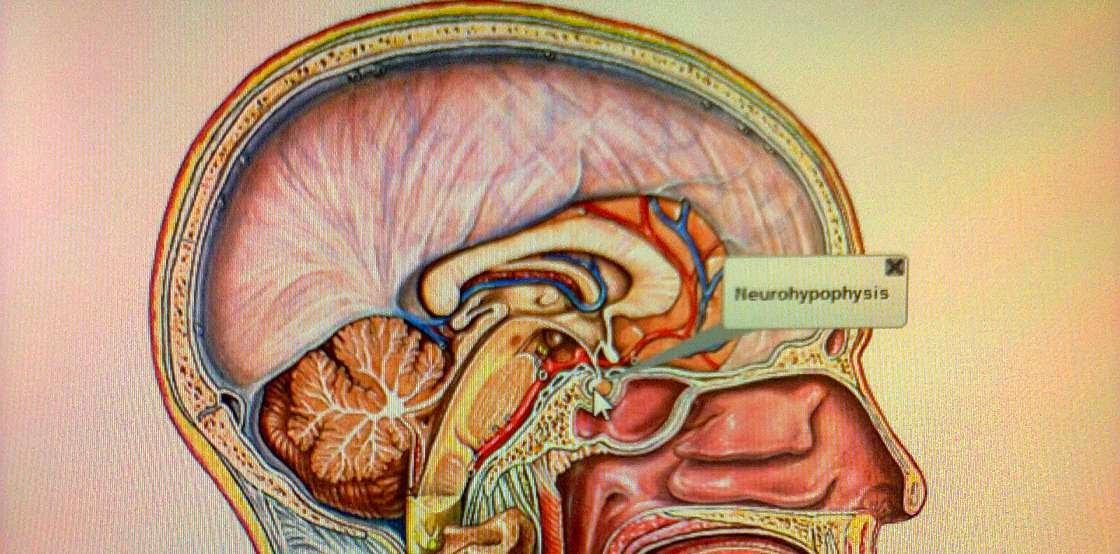 El sistema endocrino: concepto, funciones y composición - Biología