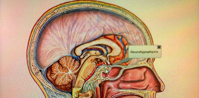 Sistema endocrino e hipofisis