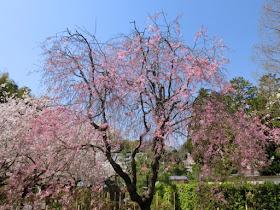 建長寺の枝垂れ桜