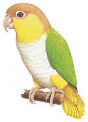 Pionites xanthurus