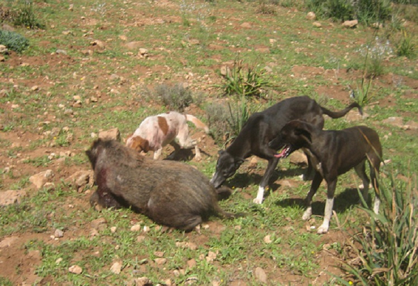 الخنازير البرية تغزو الحقول  بجبال الظهرة  وتهلك الحرث والزرع بتاوقريت
