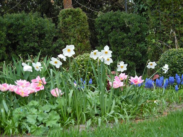 narcyz, tulipan, szafirek