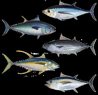 Klasifikasi dan Morfologi Ikan Tuna Lengkap