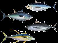 Klasifikasi dan Morfologi Ikan Tuna, Lengkap!