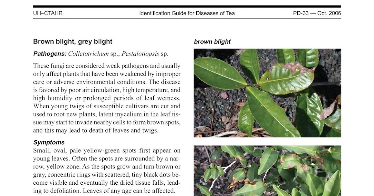 AGRICULTURAL MICROBIOLOGY: GREY BLIGHT OF TEA