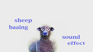 how animal sheep sounds