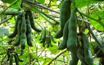 Cara Menanam Kacang Koro