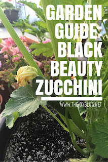 Black beauty zucchini grown growing guide image // www.thejoyblog.net