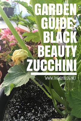 Black beauty zucchini grown growing guide image // www.thejoyblog.net