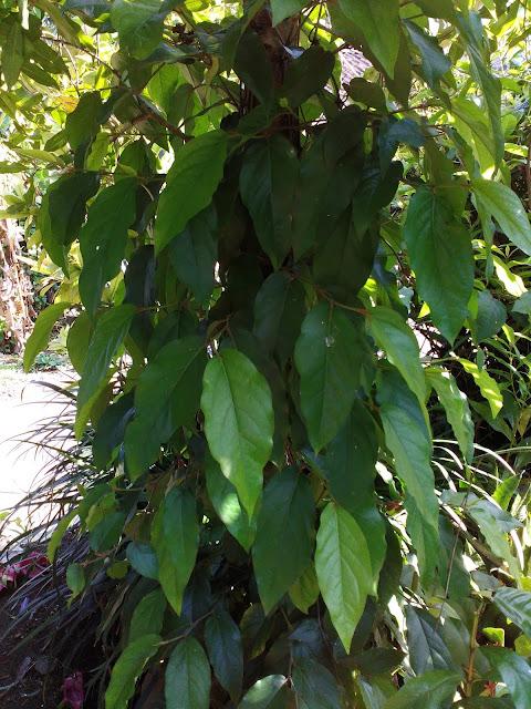 Pohon Cabe Jamu
