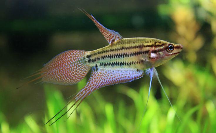 Ikan Pelaga Cantik Tetapi Garang Myrokan