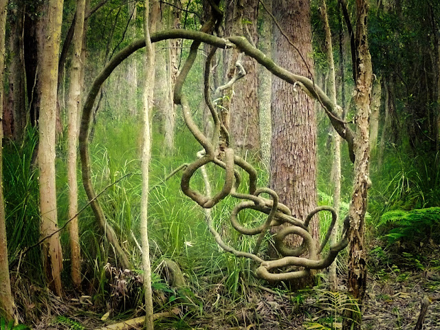 Gerry Joe Weise, Land Art, Squiggly installation 2015. Sub-tropical forest, Dorrigo, NSW Australia.