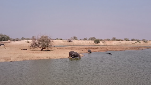 Erindi Game Lodge Hippo at watering hole